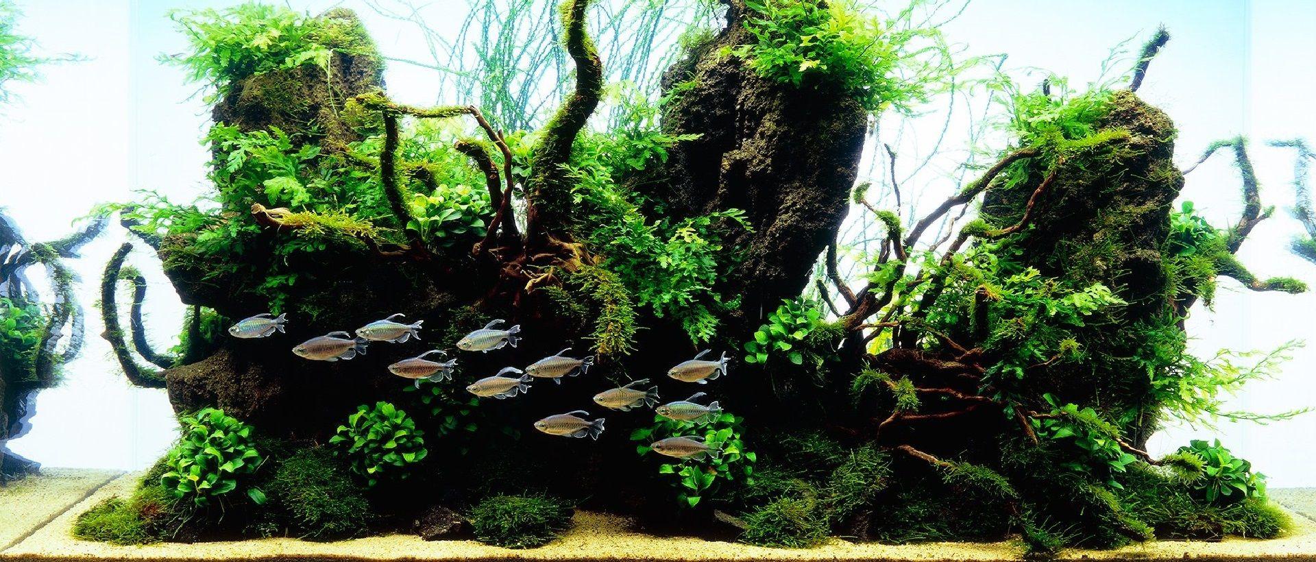 აკვარიუმის თევზი კონგო