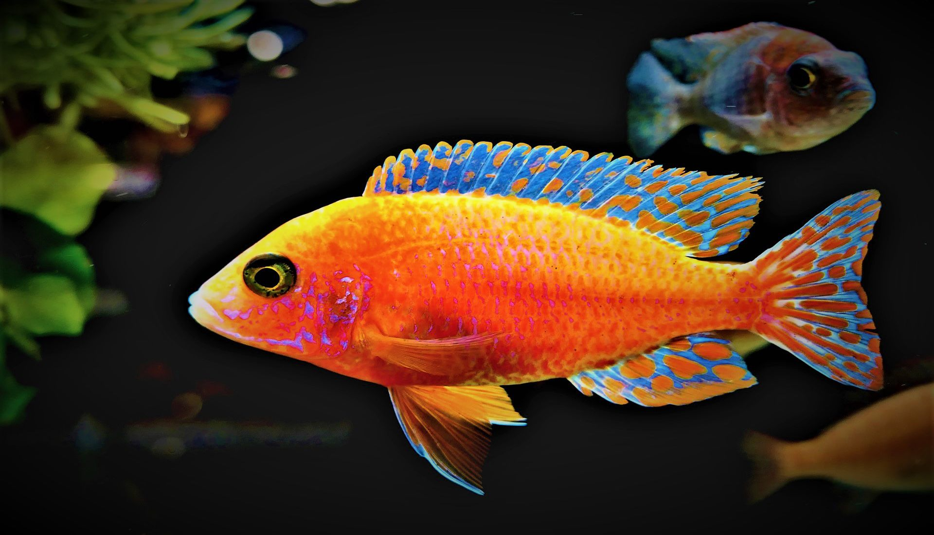 მტკნარი წყლის აკვარიუმის თევზები